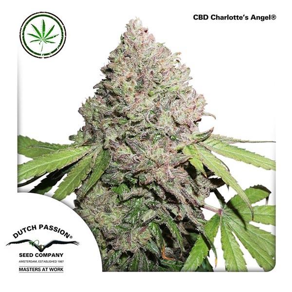 CBD Charlotte's Angel