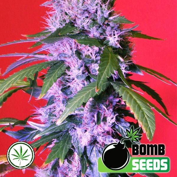 Berry Bomb Reg