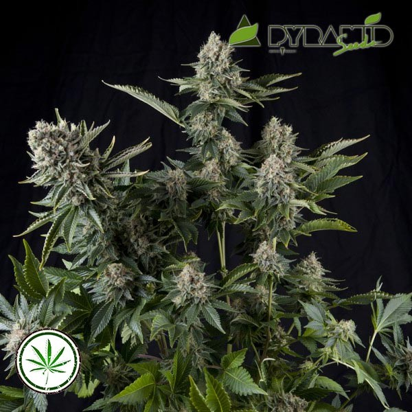 White Widow fem Bulk Seeds