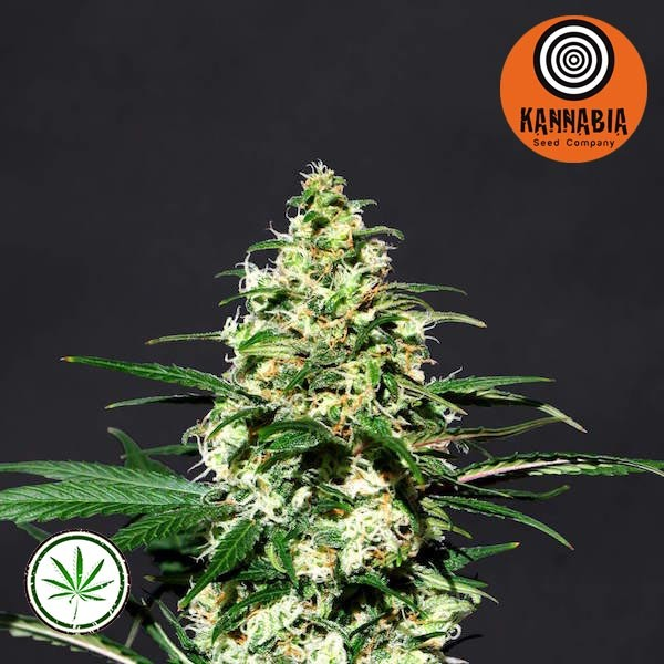 Amnesia-K