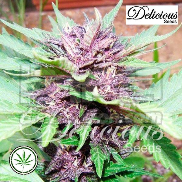 Auto Dark Purple fem